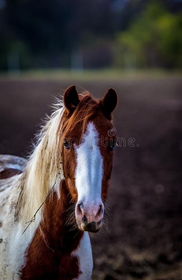 Close up of horse head, beautiful painted white and red horse portrait in the field royalty free stock image