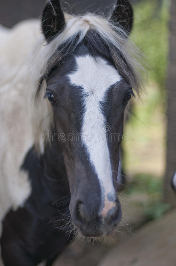 Download Close up of horses face stock image. Image of hair, head - 26578723