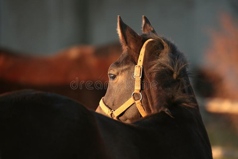 Horses head at dusk stock image