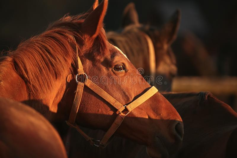 Close-up of a horses head at dusk stock photography