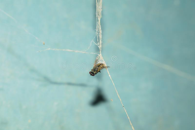 Close up of a house fly caught in a spider web stock photography