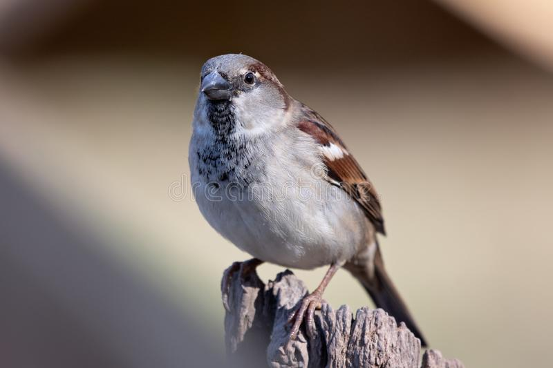 Close up of a house sparrow stock photography