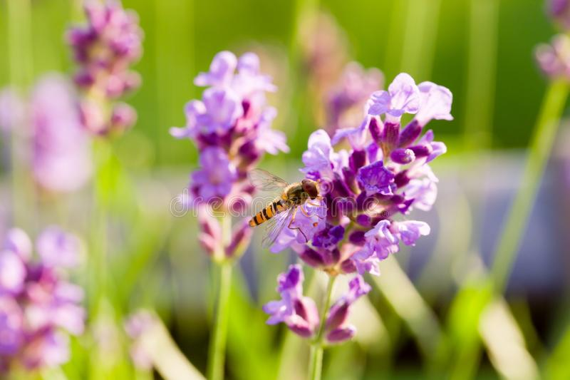 Close up of hoverfly feeding at lavender flowers. Shallow depth of field. stock image