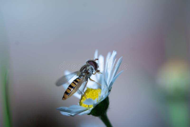Hoverfly resting on daisy. royalty free stock photo