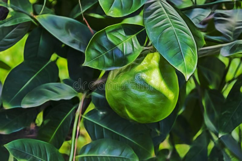 Close up huge lime and green leaves royalty free stock photography