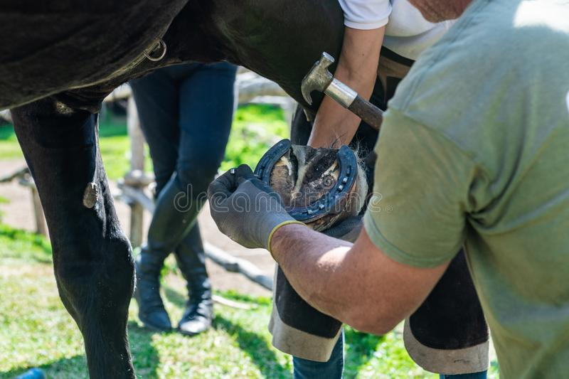 Ancient craft job horse shoeing man securing shod. Close up of human hands securing horse shod with hammer and nail royalty free stock photography