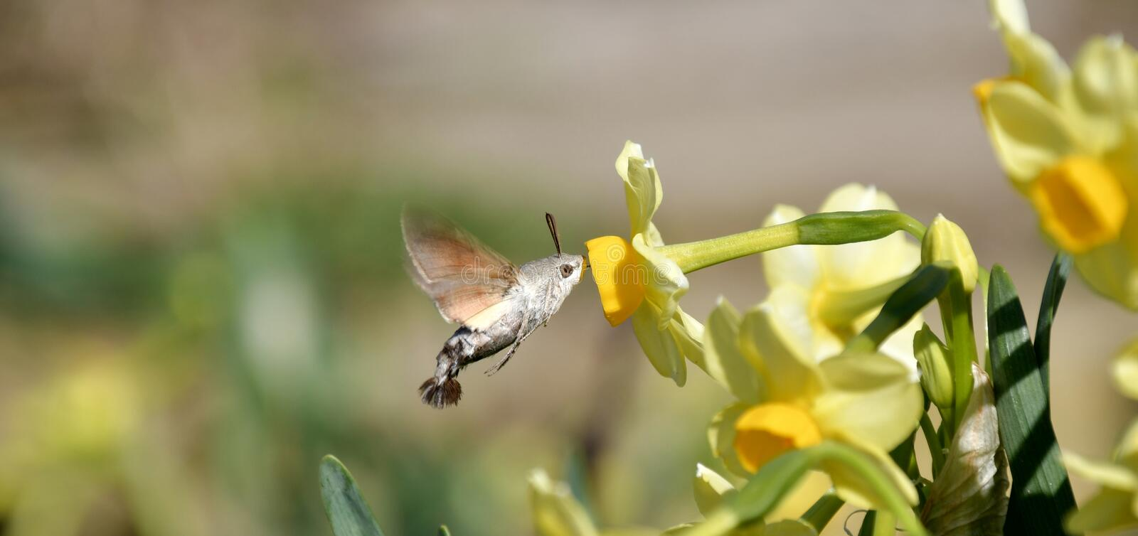 Close up of a hummingbird moth feeding on a blooming flower head stock photo