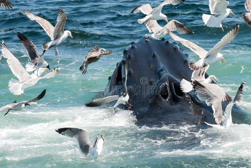 Humpback Whale Megaptera novaeangliae. A close up of a Humpback Whale feeding in Cape Cod Massachusetts stock photography
