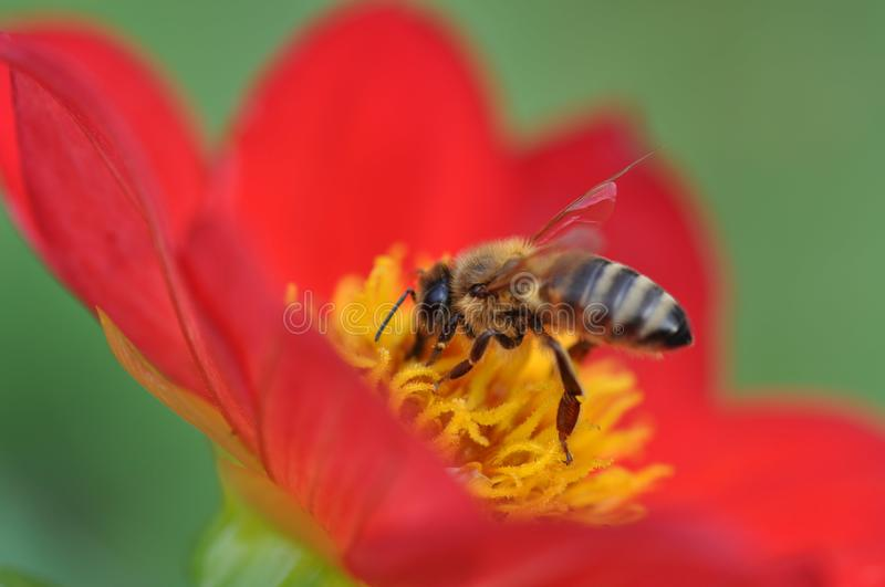 Bee and stamens. Close up of a hungry bee feasting with pollen stock images