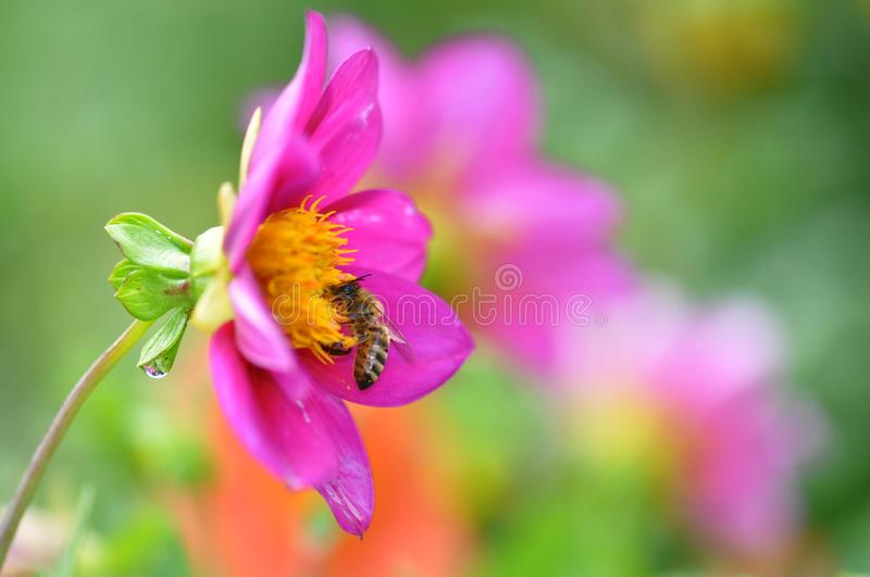 Bee and stamens. Close up of a hungry bee feasting with pollen royalty free stock photography