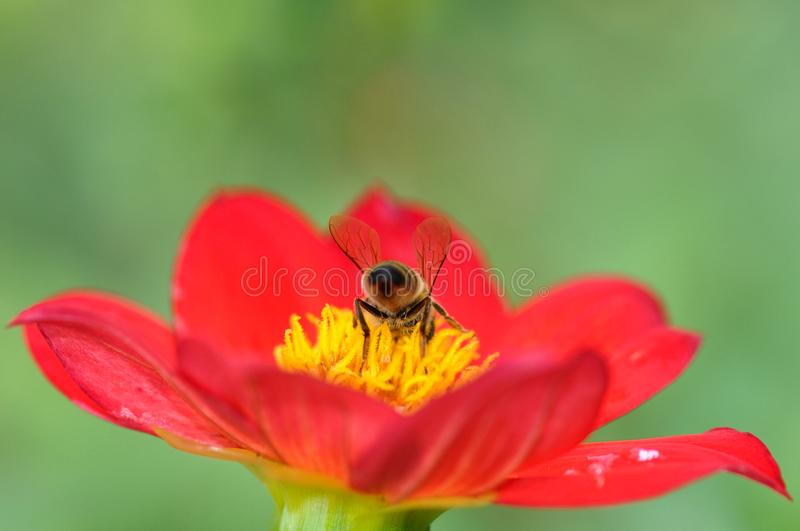 Bee and stamens. Close up of a hungry bee feasting with pollen stock photos