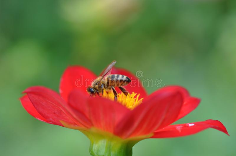Bee and stamens. Close up of a hungry bee feasting with pollen royalty free stock image