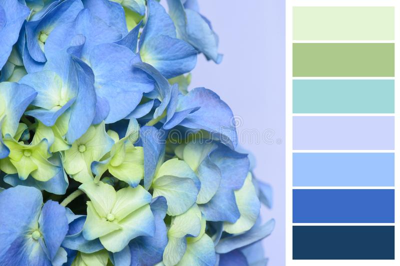 Close up of hydrangea blossom with colour bar stock images