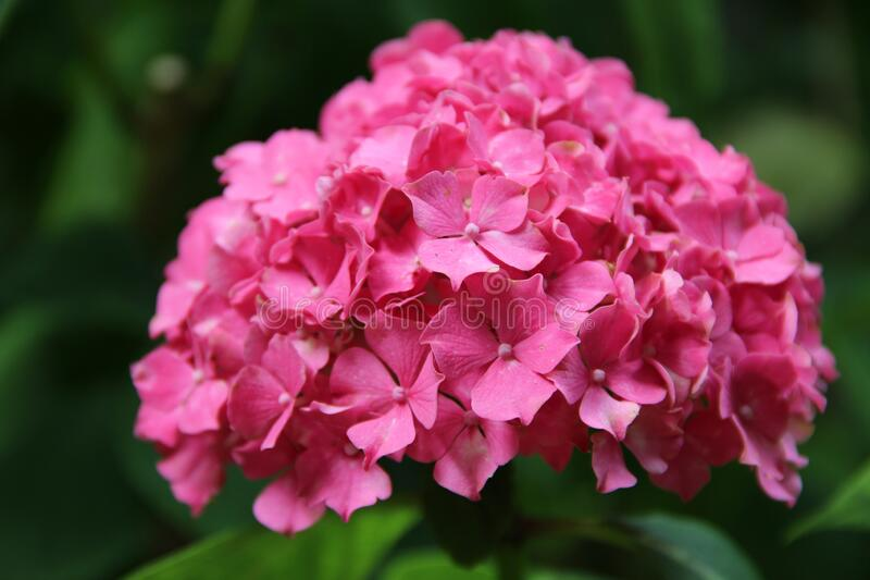 Pink Hydrangea Flower In Macro Stock Photo Image Of Shrubs