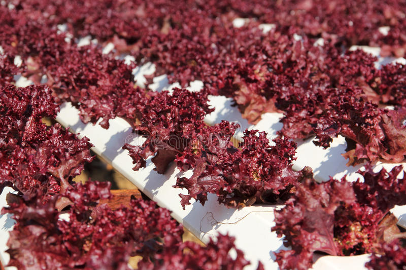 Close up of Hydroponic Plantation. In the farm stock photography