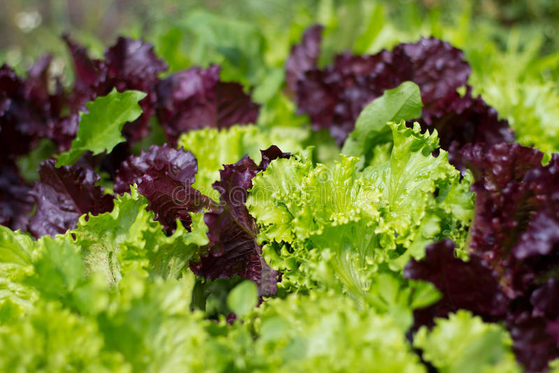 Close up of Hydroponic Plantation in the farm stock images