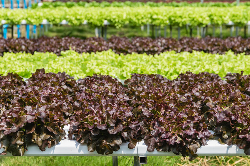Close up of Hydroponic vegetables growing in greenhouse royalty free stock photo
