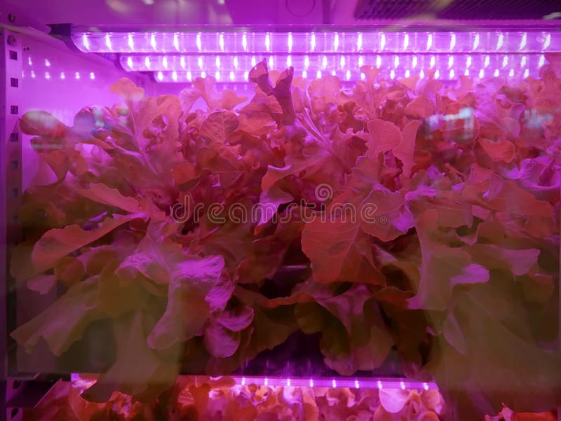 Hydroponic Vegetables Inside the Purple Illuminated Cabinet. Close-up Hydroponic Vegetables Inside the Purple Illuminated Cabinet royalty free stock photo