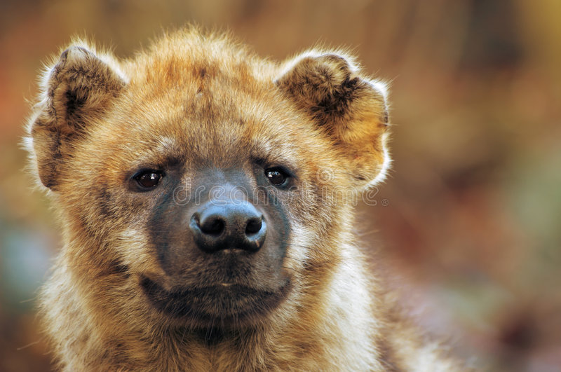 Download Close-up of a hyena stock image. Image of safari, spots - 1665475