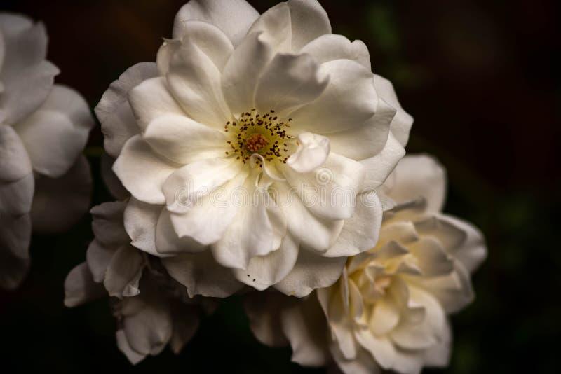 Close up of an Iceberg White Rose royalty free stock photos
