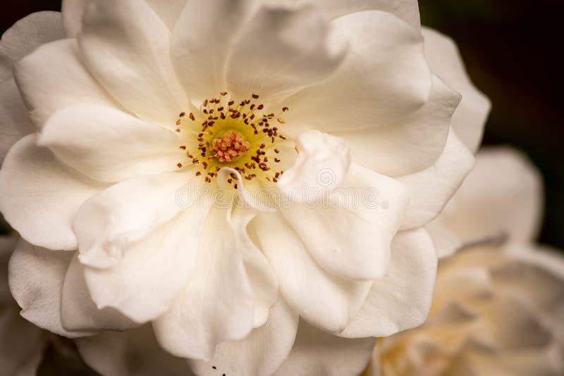 Close up of an Iceberg White Rose royalty free stock image