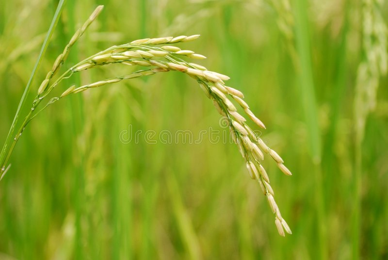 Close-up II van de rijst royalty-vrije stock afbeelding