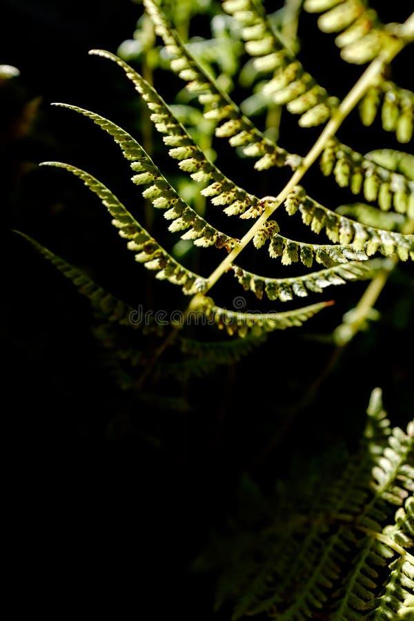 Close up iluminado de uma samambaia fotografia de stock