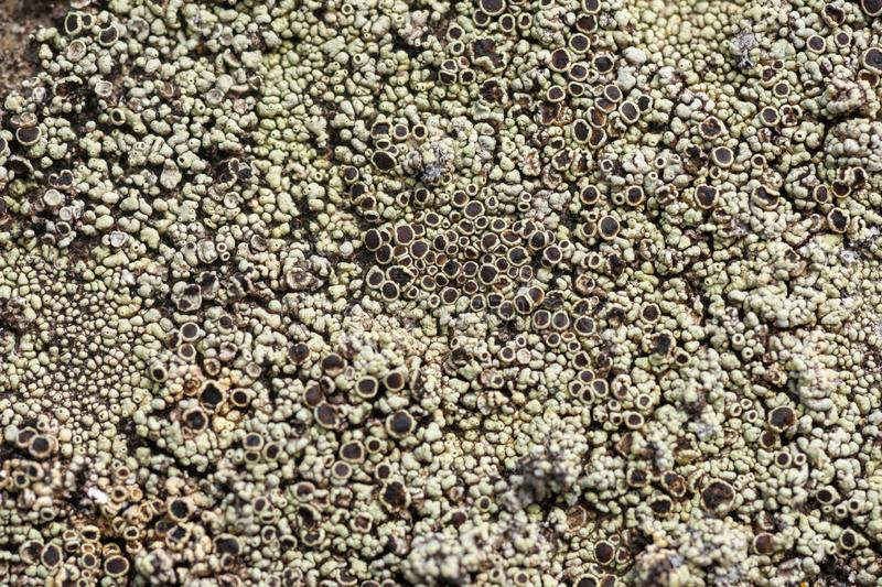 Crustose Lichen Apothecia. A close-up image of a beautiful grey and brown lichen is portrayed in this photo royalty free stock photos