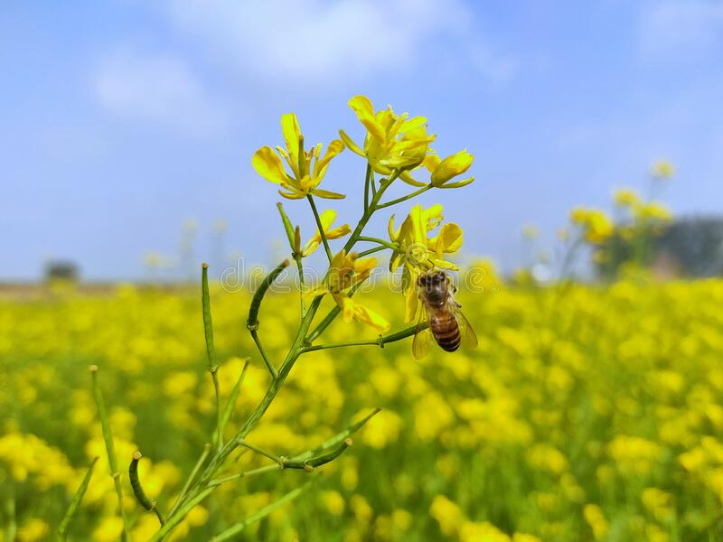 A close-up image of beautiful honey bee on mustard flower stock image