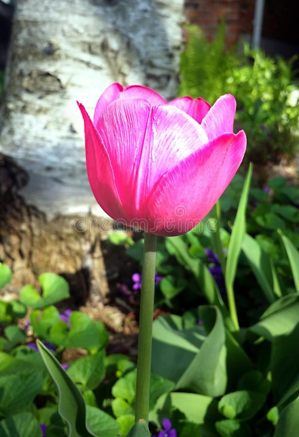 Close-up image of bright pink tulip royalty free stock photos