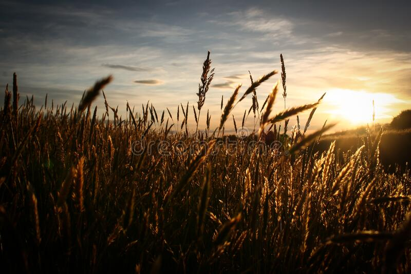 Close Up Image of Brown Grass over Clear Sky royalty free stock images