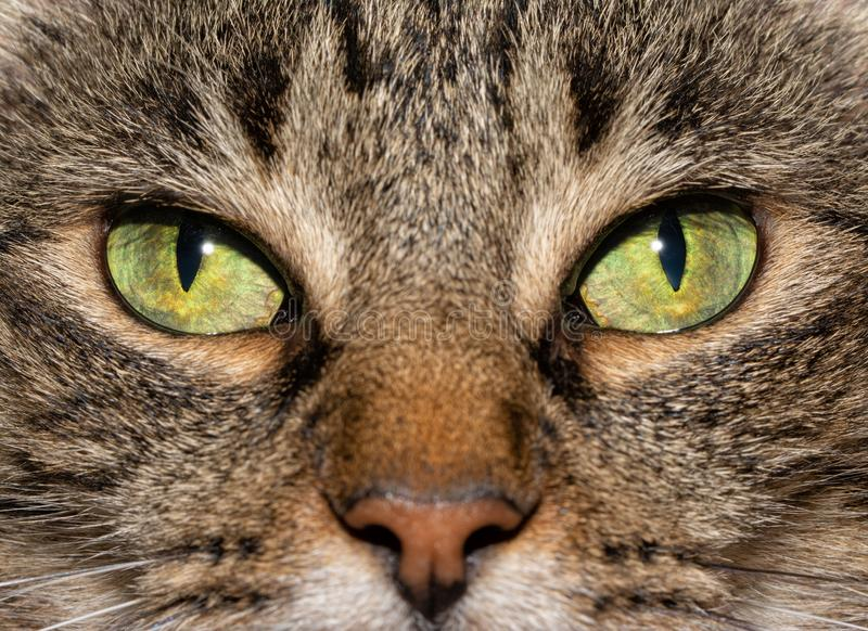 Close-up image of a brown tabby cat`s eyes. With an serious stare at the viewer royalty free stock photo