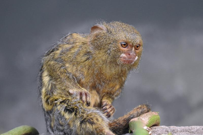 Pygmy Marmoset Sitting Close Up stock photos
