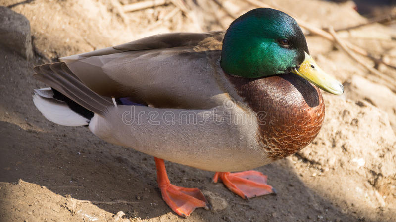 Close-up image of a duck royalty free stock photo