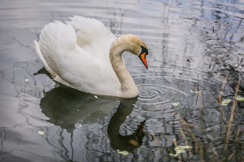 Close up image of elegant white mute swan in blue water. Close up image of elegant white mute swan with orange beak swimming in a lake being fed with green salad royalty free stock photo