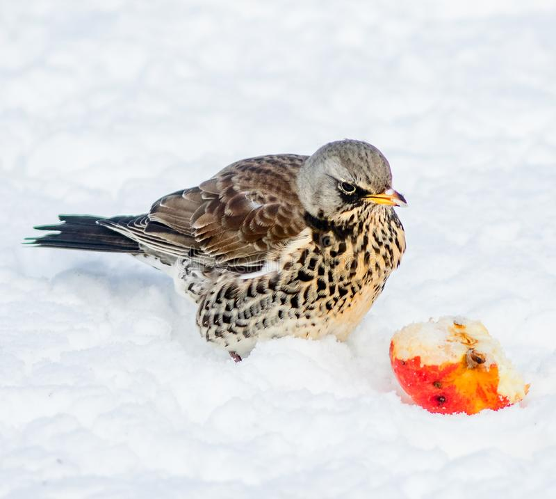 Fieldfare, Turdus pilaris, feating an apple on snow covered ground. Close up image of a Fieldfare pecking at an apple that has been put out for bird food royalty free stock photo