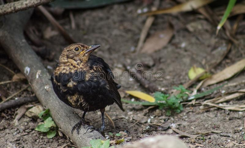 Close up image of a fledgling blackbird royalty free stock images