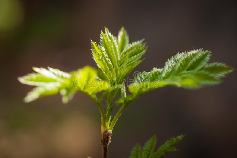 Mountain Ash - Fresh Leaves in Spring. Close-up image of the fresh leaves of a mountain ash tree with sunlight on a blurred background stock photography