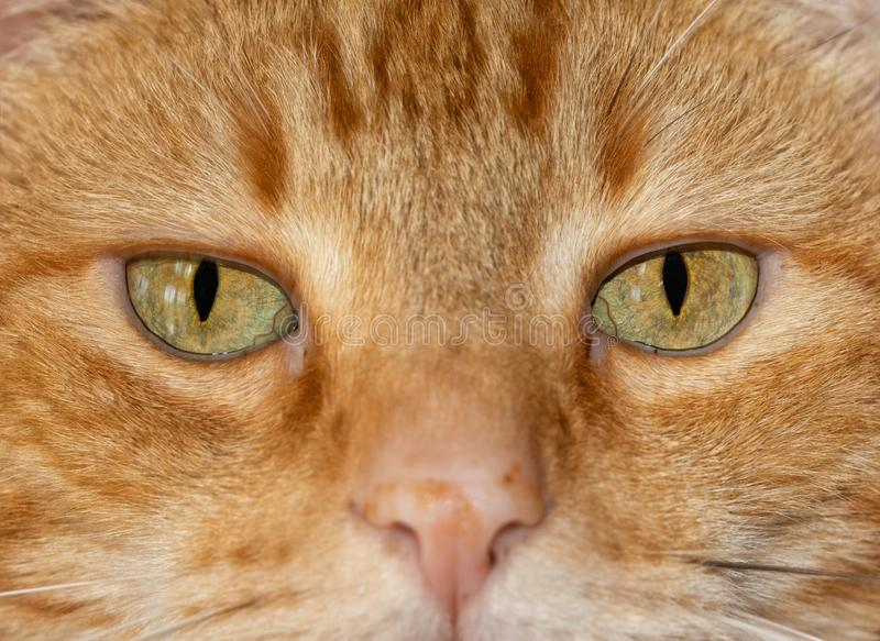 Close-up image of a ginger tabby cat`s eyes,. With an serious stare at the viewer royalty free stock photos