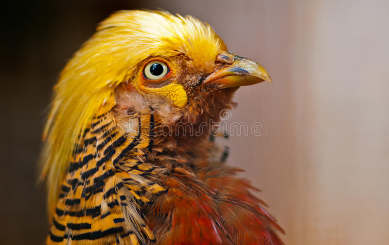 Download Golden Pheasant stock photo. Image of gamebird, golden - 29946794