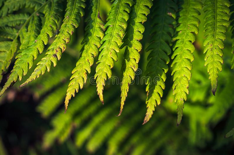 Close-up Image of Green Fern Leaves with Browning Spots, Black Bug, on Blurred Foliage Background in Warm Summer Evening Sunlight.  royalty free stock photography