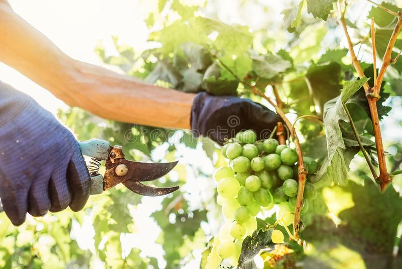 Close up image hands with scissors cutting a grape bunches. Vintage time working people concept image stock image