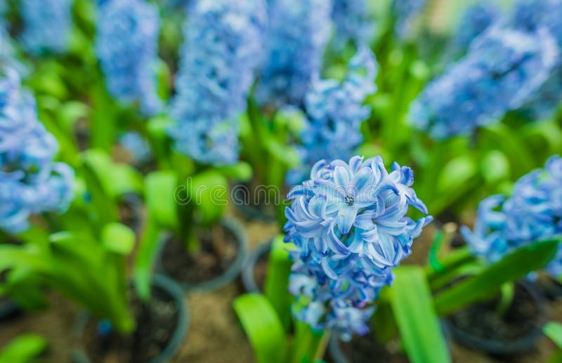 Hyacinth row in the garden . Close up image of hyacinth row in the garden day time, background, beautiful, beauty, bloom, blooming, blossom, blue, blur, botany stock photo