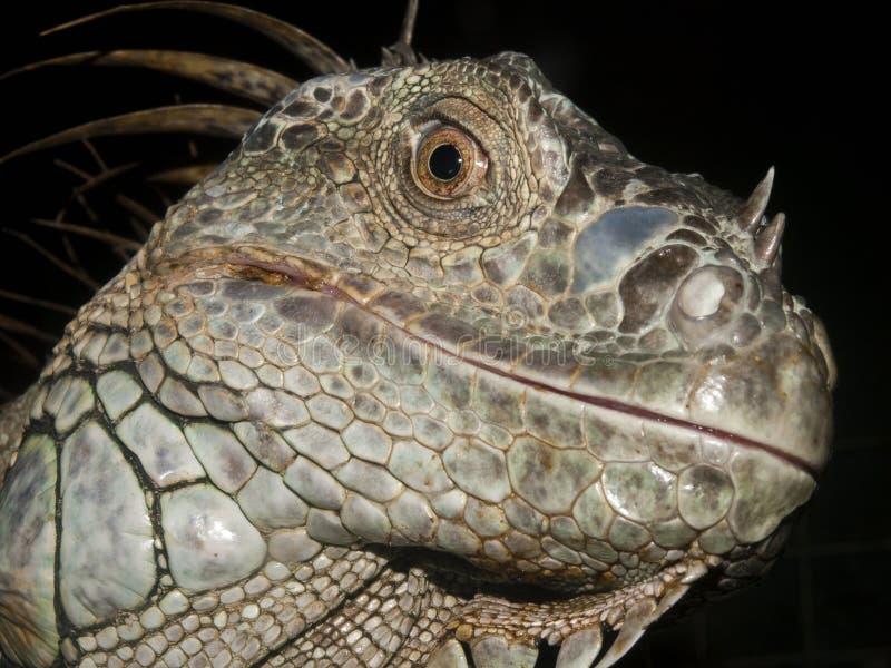 Close up image of a Iguana. On a dark background stock image
