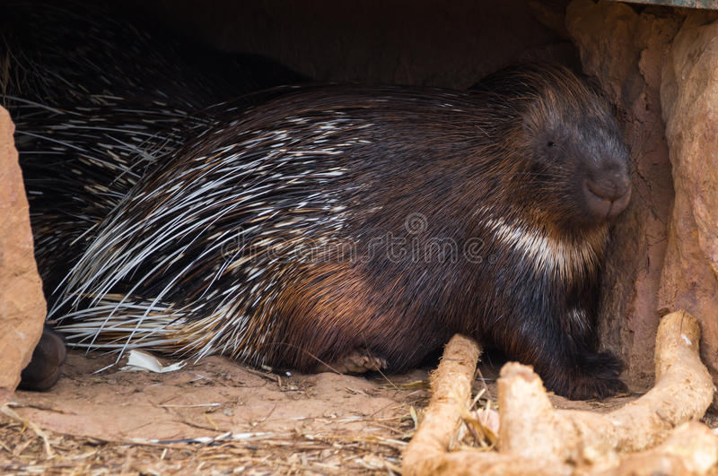 Close up image of large spiny porcupine royalty free stock photo