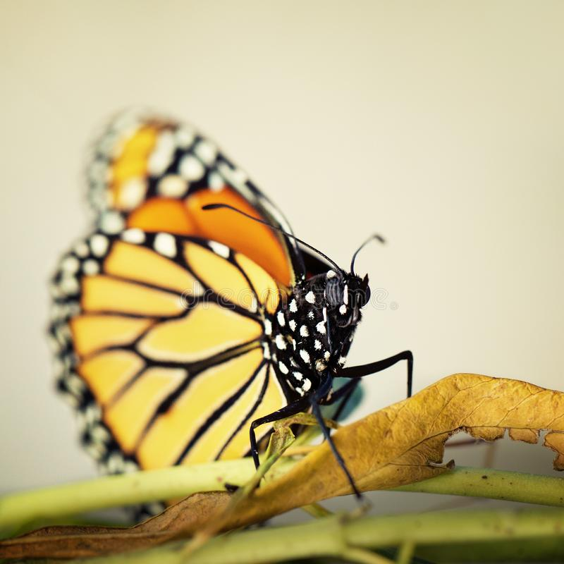 A Monarch Butterfly On Brown Leaf royalty free stock photography