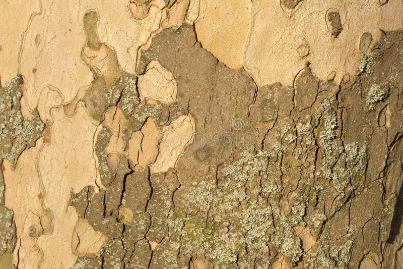 Close up image of mottled sycamore tree bark for background.  stock photos