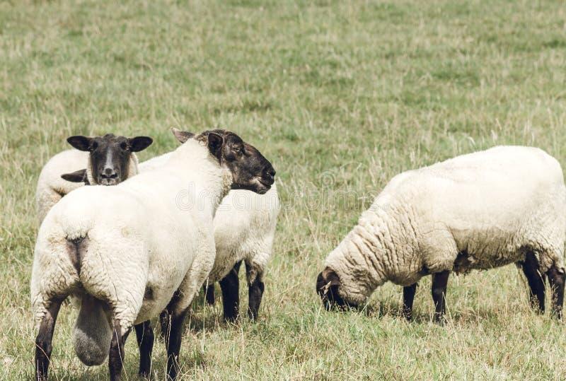 New Zealand Suffolk Sheep. Close up image of New Zealand Suffolk Sheep stock photo
