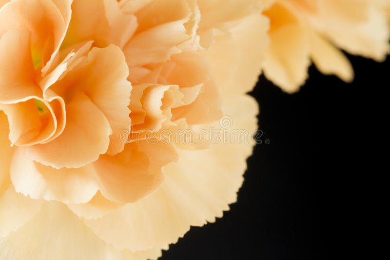 Close up image of pale orange carnations royalty free stock photography