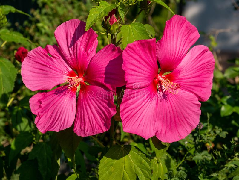 Close-up image of a pink hibiscus flower royalty free stock photography